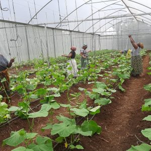 Farmers Training Cucumbers In The Green House